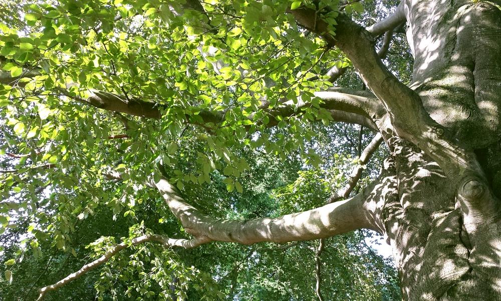 jsk-koenigshoffen-arbre-hetre
